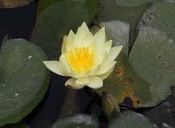 画像:スイレンの花
