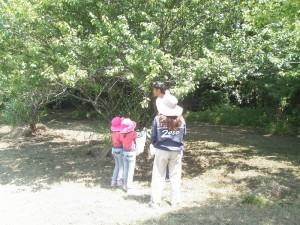 梅収穫~塩漬 (7)