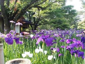 日本庭園のショウブ
