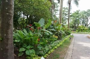 植物園 ピンクバナナ植栽