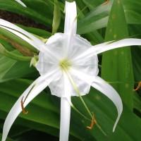 名前の由来にもなった薄い膜は副花弁