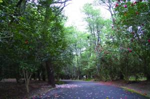 つばきの並木道