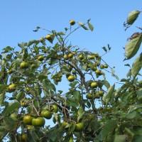 柿の実 (3)