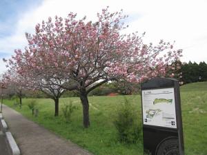 B地区八重桜 (4)