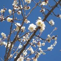 2015.02.14 梅の花(第三古墳群) (4)