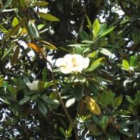 タイサンボク (1)