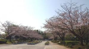 桜中央園路