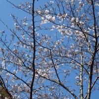 さくら咲く (1)