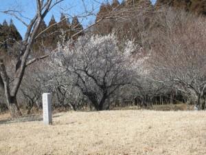 2015.02.14 梅の花(第三古墳群) (11)