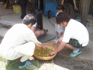 梅収穫~塩漬 (18)